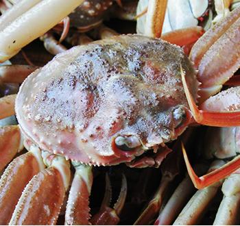 日本海でとれたせこ蟹Sサイズ【送料込】